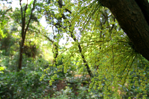 Rừng cây nguyên sinh Cô Tô